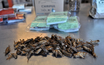 Crickets and Cricket Flour