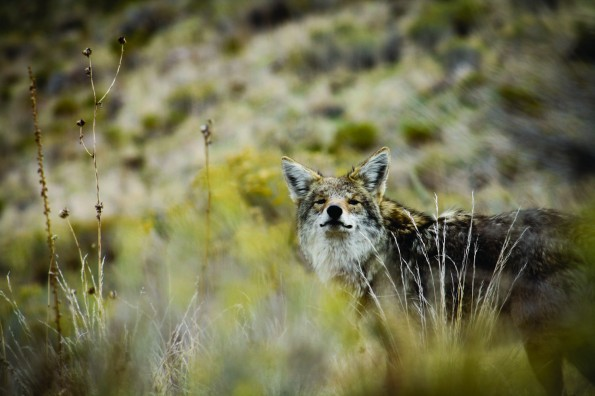 Coyote,_Antelope_Island,_October_2012