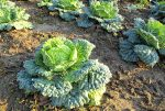 how to grow kale