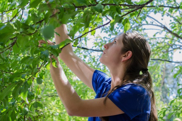 Lauren Cunico thins young fruit from a plumb tree in the Avenues in Salt Lake City