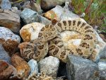 The Joy of Snakes: The Truth About Snakes in Utah