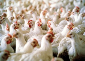 Mississippi's poultry industry ended the year with a preliminary estimated value of $2.5 billion, holding on to the top spot among agricultural commodities in the state for 2012. Broiler values saw a 7 percent increase from 2011, while estimated egg and chicken values remained level. (MSU Ag Communications/file photo)