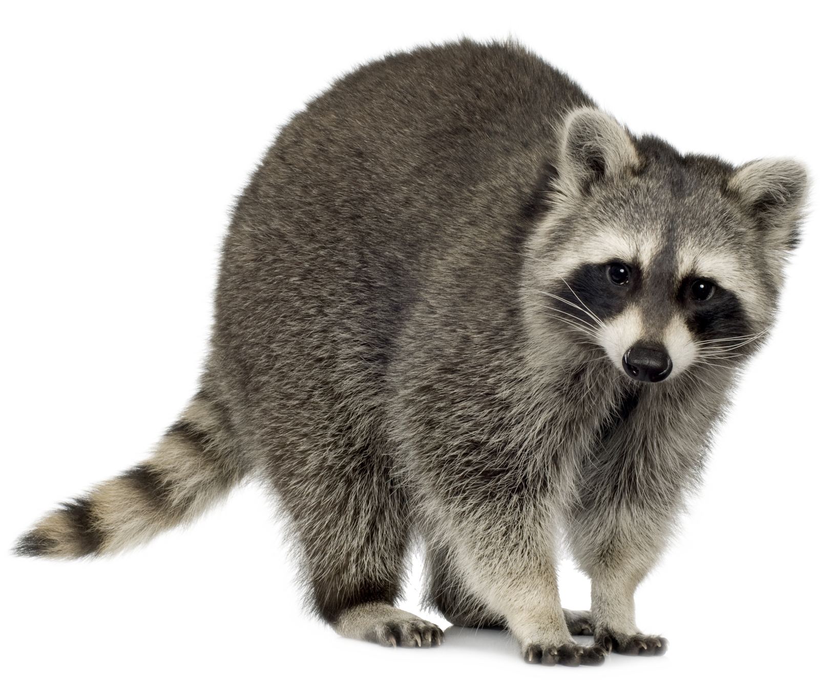 Draw House Plans Raccoons In Suburbia Utah Stories