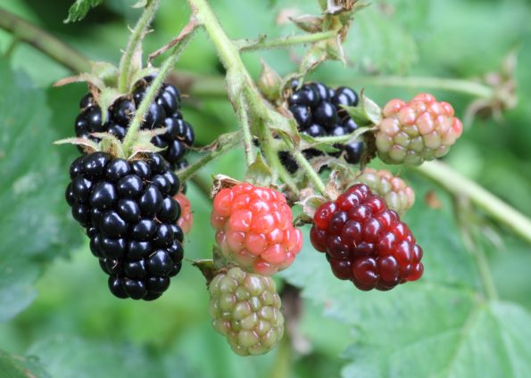 Ripe,_ripening,_and_green_blackberries
