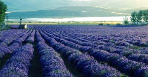 Young Living Essential Oils' lavender fields