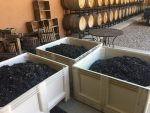 Castle Creek Winery Celebrates Grape Picking Season