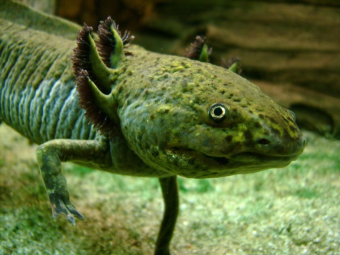 "The Significance of the ""Salamander"" In Mormon and Occult Lore"