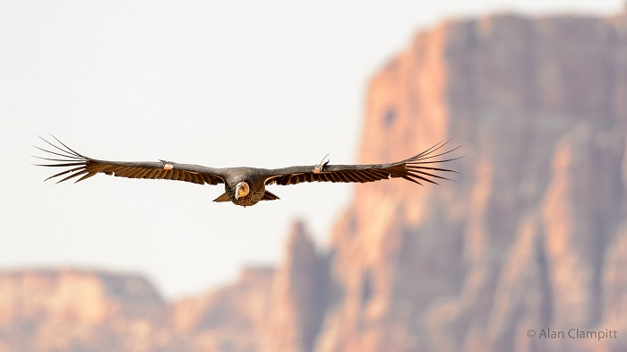 The California Condor: An Extreme Journey into the Wild