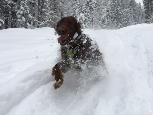 Record snow fall : Joey the Irish Setter in the snow