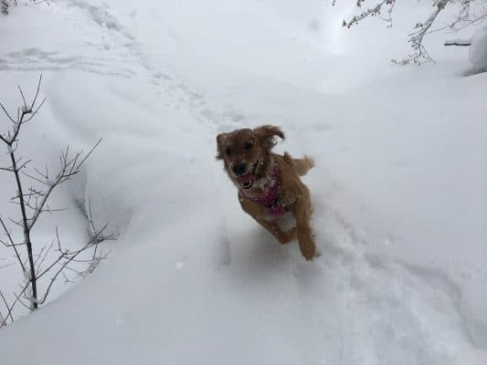 Record snow fall : Scamps the Golden Retriever in the snow